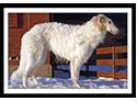Borzoi/Russian Wolfhound