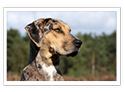 Catahoula Cur/Leopard Dog