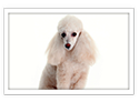 Poodle-Miniature